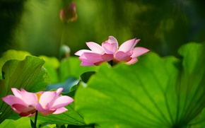 Picture greens, flower, leaves, flowers, green, background, blur, Lotus, pink, Lotus, two