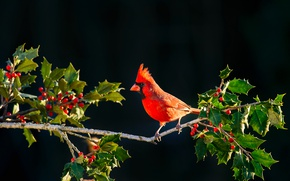 Wallpaper leaves, bird, red cardinal, branch, berries