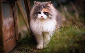 Wallpaper cat, grass, cat, look, kitty, background, Board, portrait, blur, spring, muzzle, yard, walk, beauty, kitty, ...