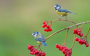 Picture birds, berries, background, branch, pair, Kalina, Titmouses, Blue tit