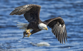 Picture water, bird, eagle, wings, fish, catch, bald eagle, white - tailed eagle