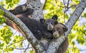 Picture tree, kids, bears, trio, Baribal