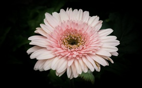 Picture white, flower, nature, pink, gerbera