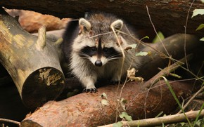 Picture forest, trees, nature, blur, raccoon, animals, nature, bokeh, cute, travel, wallpaper., raccoon, my planet, size ...