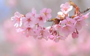 Picture tenderness, branch, Sakura