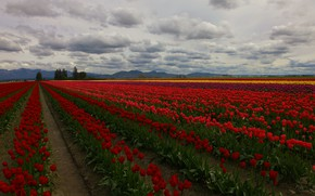 Picture field, clouds, trees, flowers, tulips, plantation