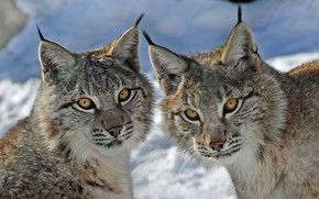 Picture look, lynx, a couple, Duo, wild cat, lynx, muzzle, twins