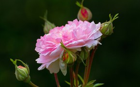 Picture macro, background, roses, pink, buds, bokeh, closeup