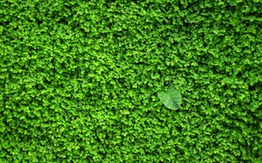 Picture greens, wall, plant, leaves