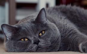 Wallpaper look, muzzle, kotofey, Kote, British Shorthair, cat