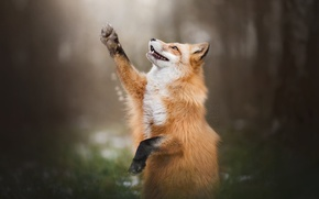 Picture forest, pose, paw, Fox, Fox
