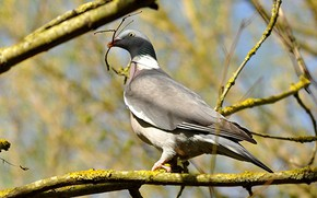 Picture branches, bird, dove, wood pigeon, crow