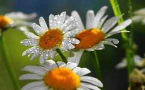 Wallpaper drops, flowers, Daisy, petals, Rosa