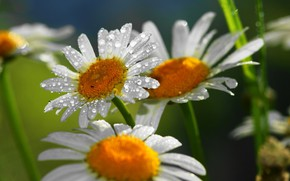 Picture drops, flowers, Rosa, petals, Daisy