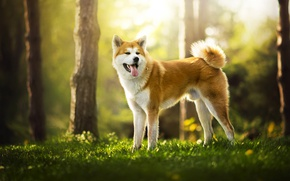 Picture nature, dog, red, Ame
