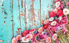 Wallpaper chrysanthemum, background, Board, flowers