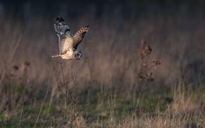 Picture owl, wings, flight