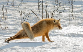 Picture snow, nature, Fox