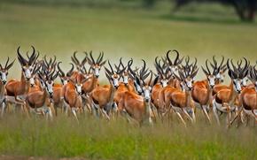 Picture Africa, South Africa, Kalahari, antelope jumping, African antelope, Springbok
