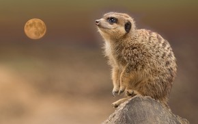 Wallpaper meerkat, animal, face, the moon, went to the moon to look at, stump, background, wildlife, ...