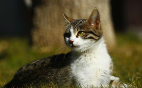 Picture cat, grass, cat, look, light, nature, kitty, tree, glade, kitty, striped, grey with white