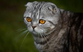 Picture cat, look, portrait, muzzle, Scottish fold, Scottish fold cat