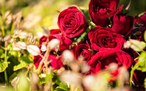 Picture Flowers, Nature, Bouquet, Buds, Red roses