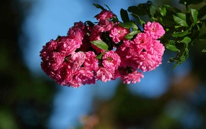 Picture macro, branch, briar, flowers