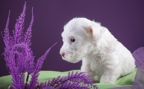 Wallpaper fabric, puppy, white, the Sealyham Terrier