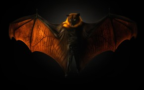 Picture black background, the dark background, flying Fox, flying dog, Pteropus, night Pteropus