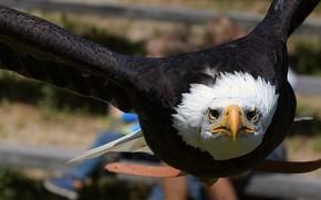 Picture flight, bird, eagle, predator
