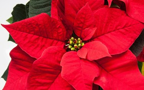 Picture flower, leaves, red, Poinsettia