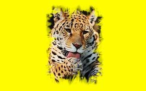 Picture language, Jaguar, wild cat, to clean