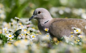 Picture flowers, nature, bird, spring, Dove