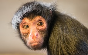 Picture look, nature, Black spider monkey