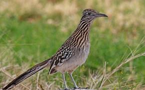 Picture bird, beak, tail, Californian earth cuckoo