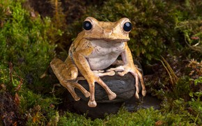 Picture chest, macro, nature, stones, thickets, model, moss, frog, stem, beauty, fauna, beige, black eyes, dendrobates, …