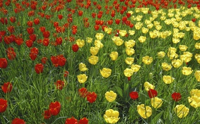 Picture grass, nature, petals, garden, meadow, tulips
