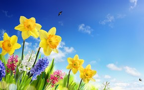 Wallpaper spring, sky, grass, the sky, the sun, meadow, daffodils, swallows, spring, flowers, flowers