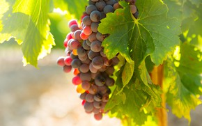 Picture branches, nature, grapes, bunch