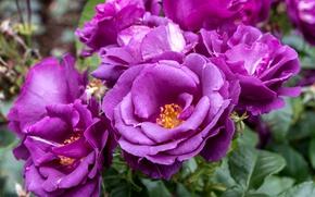 Picture roses, petals, purple
