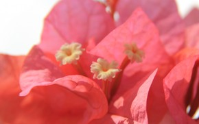 Picture flower, petals, bougainvillea