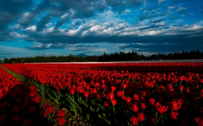 Picture field, forest, the sky, clouds, light, line, landscape, flowers, clouds, nature, blue, lighting, tulips, red, …