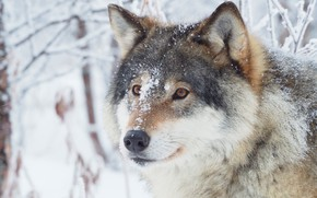 Picture winter, forest, face, snow, wolf, portrait, wildlife