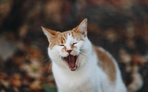 Picture cat, red, yawns
