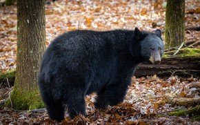 Picture animal, wool, bear, large, bear