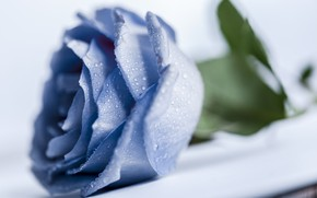 Picture drops, macro, rose, blue