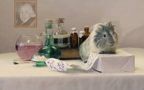 Picture portrait, Guinea pig, formula, chemistry, Einstein