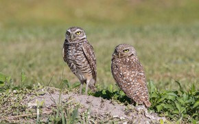 Picture Nature, Birds, Weed, Pair, Owls