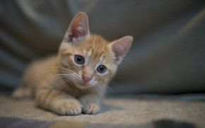 Picture interest, cat, cute, ginger